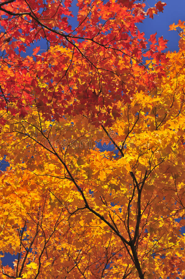 Download Autumn maple tree stock image. Image of natural, early - 10466617
