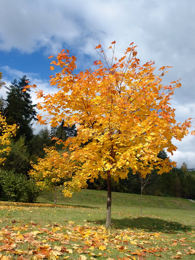 Download Autumn maple tree stock image. Image of nature, sunny - 3330921