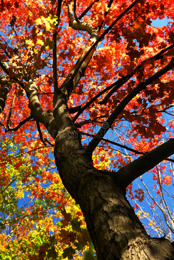 Free Autumn Maple Tree Royalty Free Stock Images - 3359639