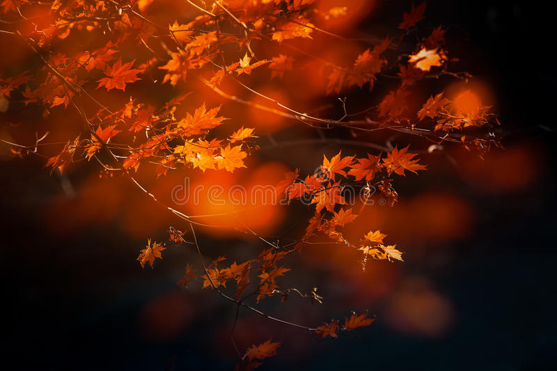 Autumn Maple Tree lizenzfreie stockfotografie