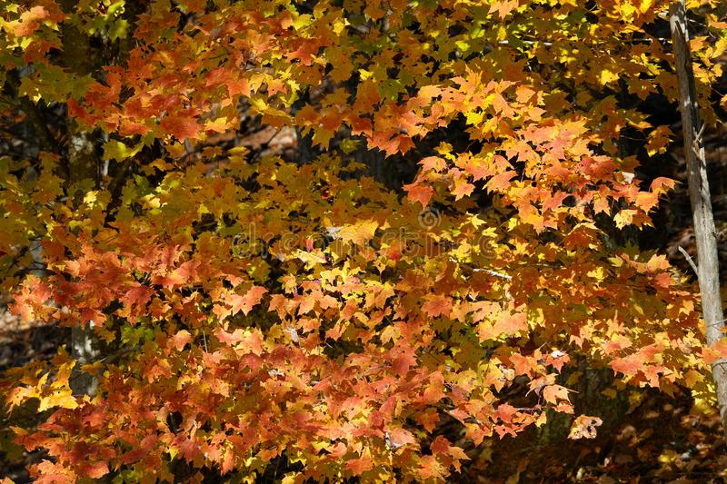 Autumn Maple Tree in Great Smoky Mountains stock foto's