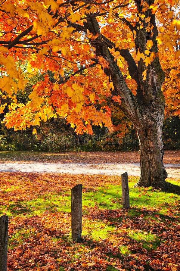 Autumn maple tree near road. Colorful fall maple tree near rural road stock photography