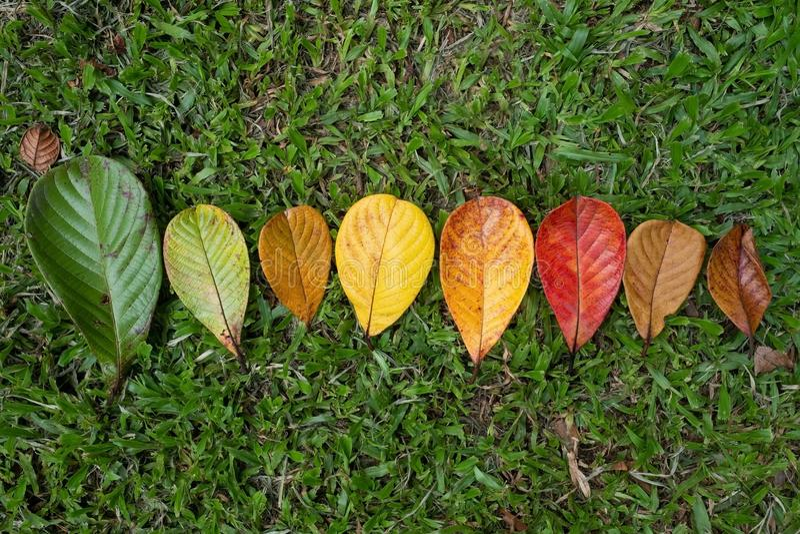 Autumn Maple-van de bladovergang en variatie concept voor val en verandering van seizoen royalty-vrije stock foto's