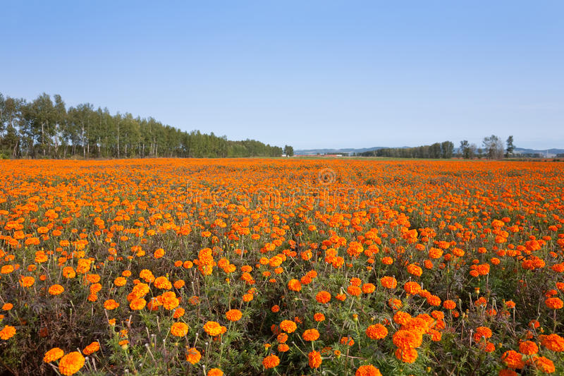 Download Autumn marigold Field stock image. Image of fresh, blossom - 15376249