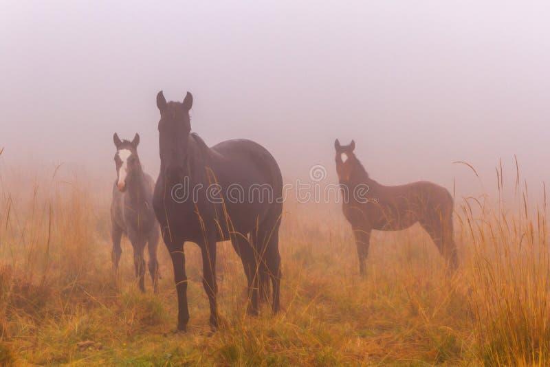 Autumn meadow fog horses royalty free stock photos