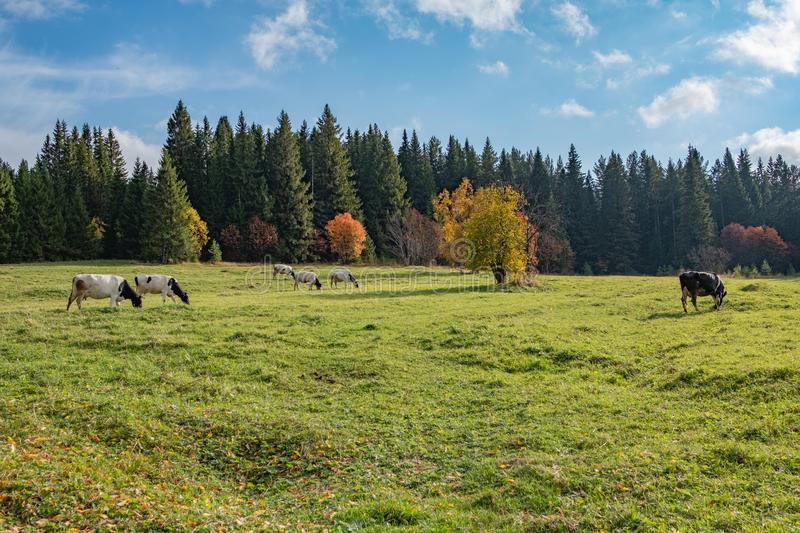 In the autumn meadow grazing cows under the blue sky. Around the meadow forest royalty free stock photo