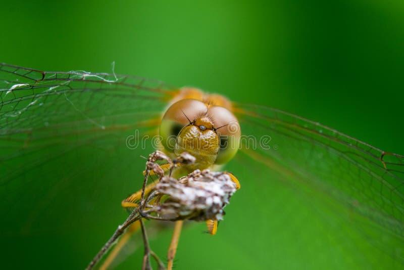 Download Autumn Meadowhawk image stock. Image du lame, instruction - 45360007