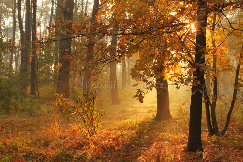 Download Autumn misty forest stock image. Image of autumnal, beams - 26668017