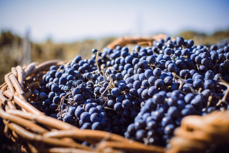 The Autumn in Moldova. The grapes are ready to enjoy sweet flavor royalty free stock photo