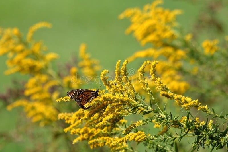 Autumn Monarch photos libres de droits