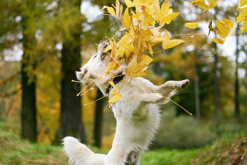 Autumn mood. Happy golden retriever dog playing with leaves. Gold and red color, walk in the park, jumping up royalty free stock image