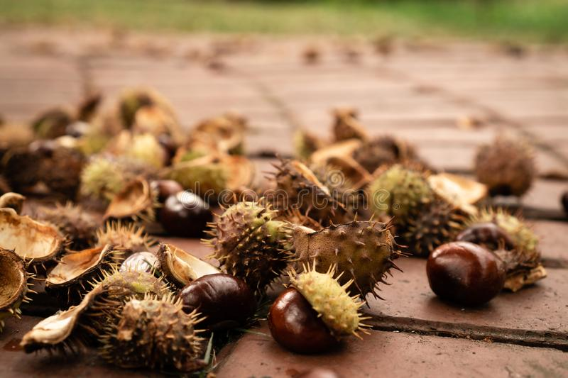 Autumn mood of loose horse chestnuts on the sidewalk in peeled thorns. The background is blurred royalty free stock photos