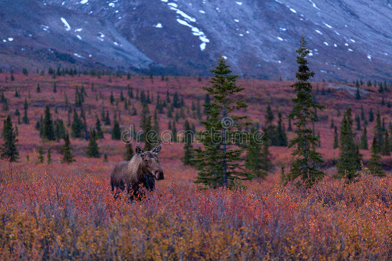 Autumn Moose arkivfoton
