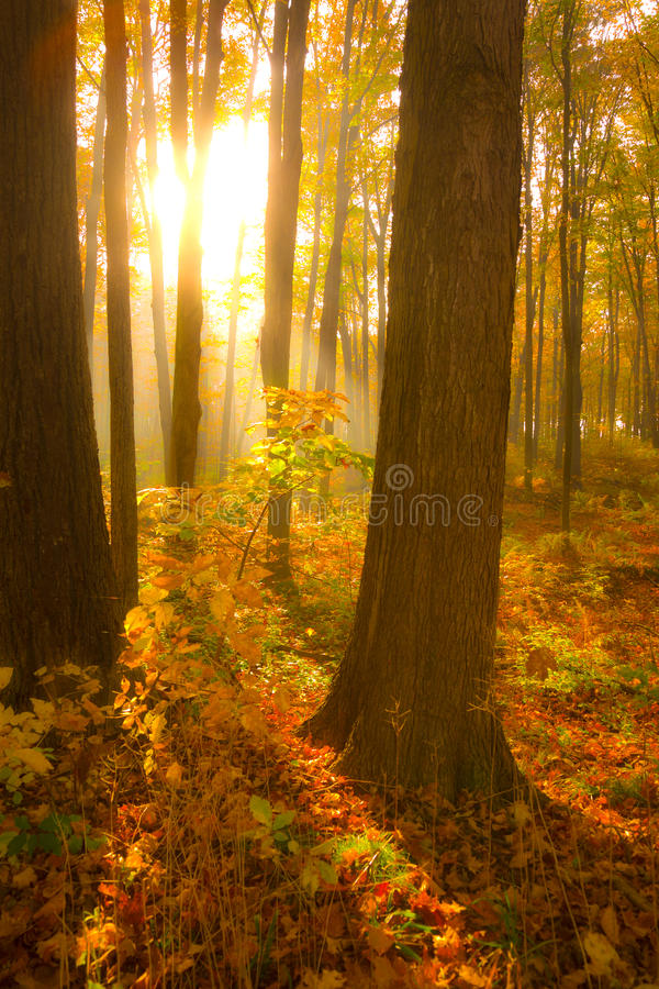 Autumn morning. Misty forest on a early autumn morning royalty free stock photos