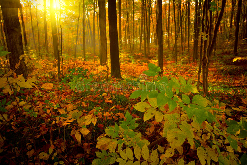 Autumn morning. Misty forest on a early autumn morning stock photo