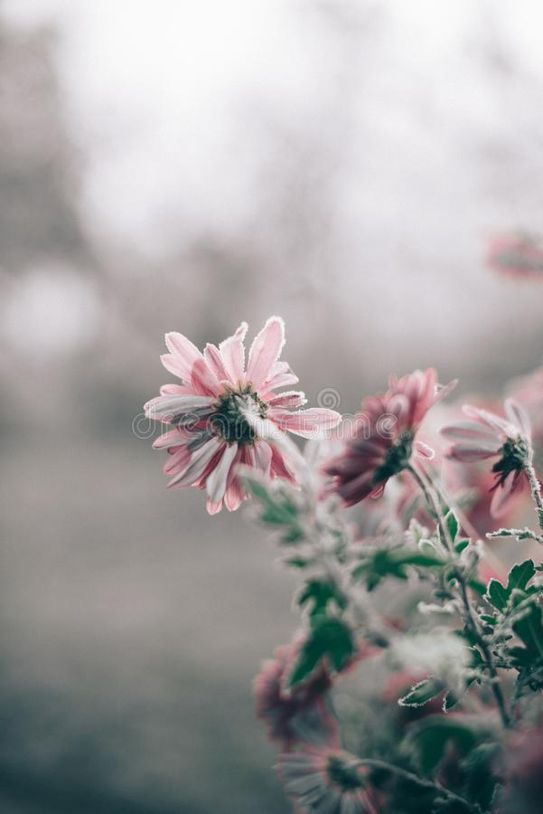 Autumn morning frost on pink flowers with a blurred background. Autumn morning frost on pink flowers with a blurred background royalty free stock images