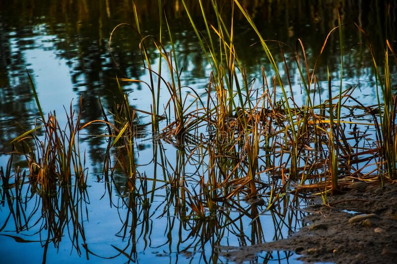 Autumn Morning Reflections In Water. In Cattails and Reeds stock photo