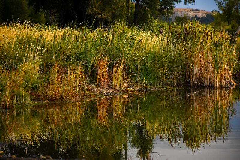 Autumn Morning Reflections In Water Cattails and Reeds. Early Autumn Morning Reflections In Water Cattails and Reeds stock photography