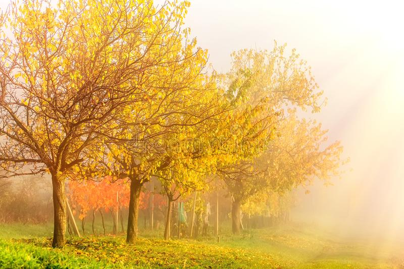 Autumn morning sunrise landscape. Country side with colorful yellow trees and vineyards in fog. South Moravia, Czech Republic. Autumn morning sunrise landscape stock image
