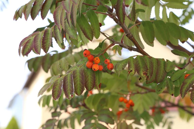 Autumn motive. Ripe mountain ash on branches. Ripe mountain ash on branches royalty free stock images