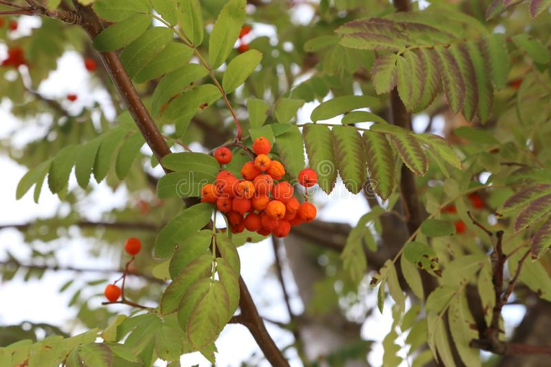 Autumn motive. Ripe mountain ash on branches. Ripe mountain ash on branches royalty free stock photo
