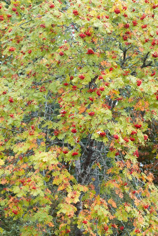 Autumn mountain ash with red berries and colorful leaves. autumn background, stock images
