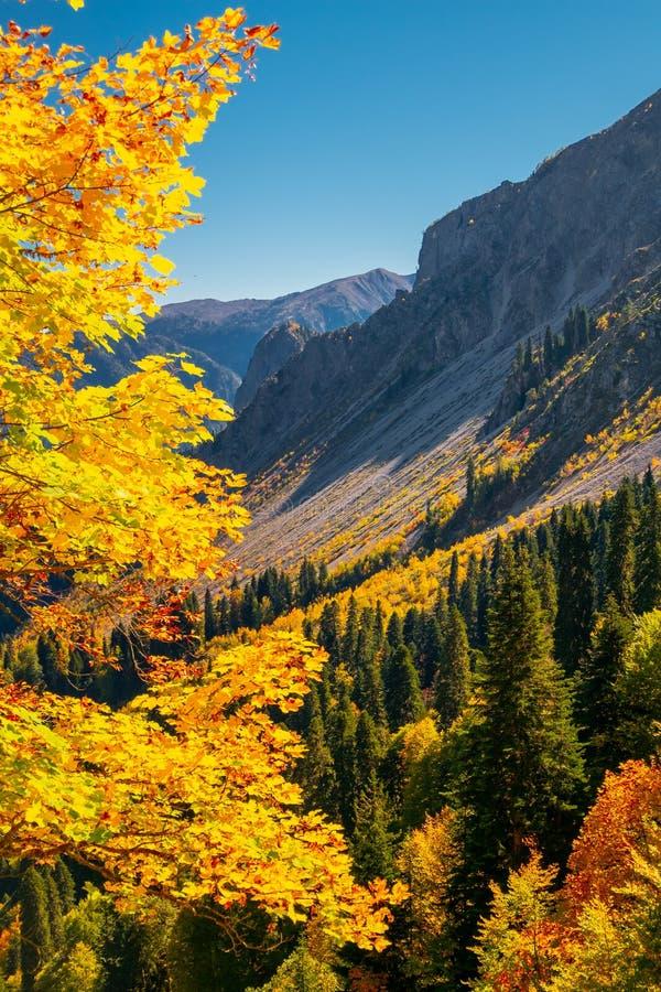 Autumn mountain landscape with yellow, orange and red foliage trees and green pines. Abkhazia, Pshegishva trail. royalty free stock photo