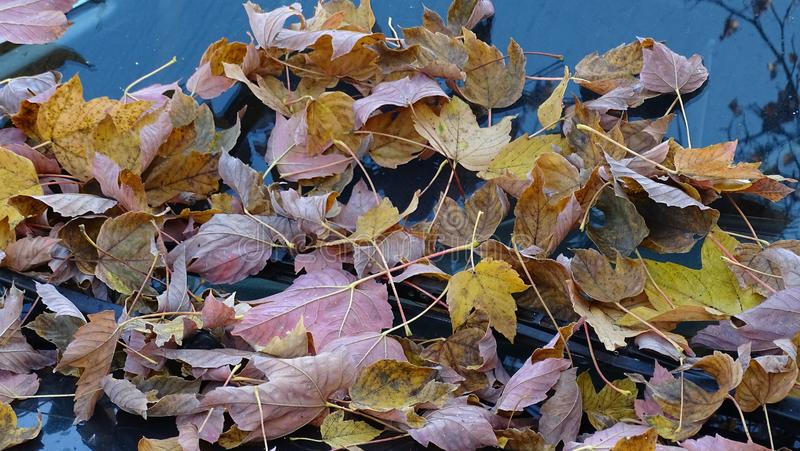 In the autumn, multicolored fallen leaves from trees decorated car windows. royalty free stock image