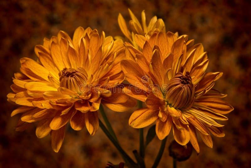 Autumn Mums stock photos