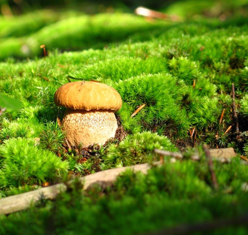 Autumn Mushroom royalty free stock photos