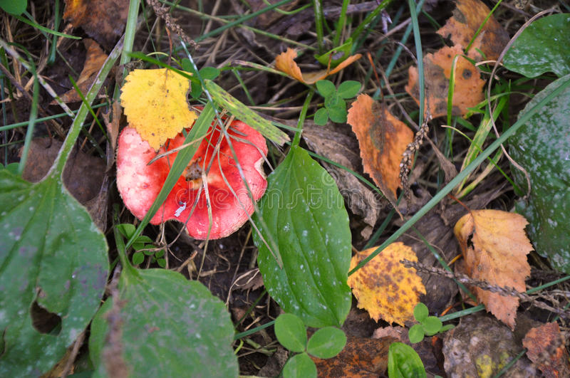 Autumn mushroom in the dry grass and leaves. Seasonal mushrooms in autumn forest. Mushrooms growing in natural stock photography