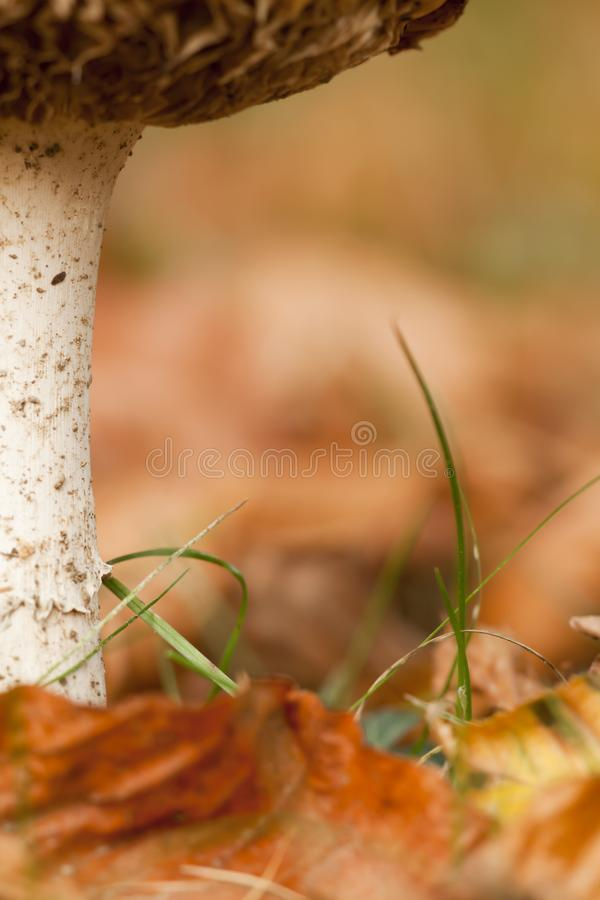Autumn mushrooms stalk details with copy space royalty free stock photo