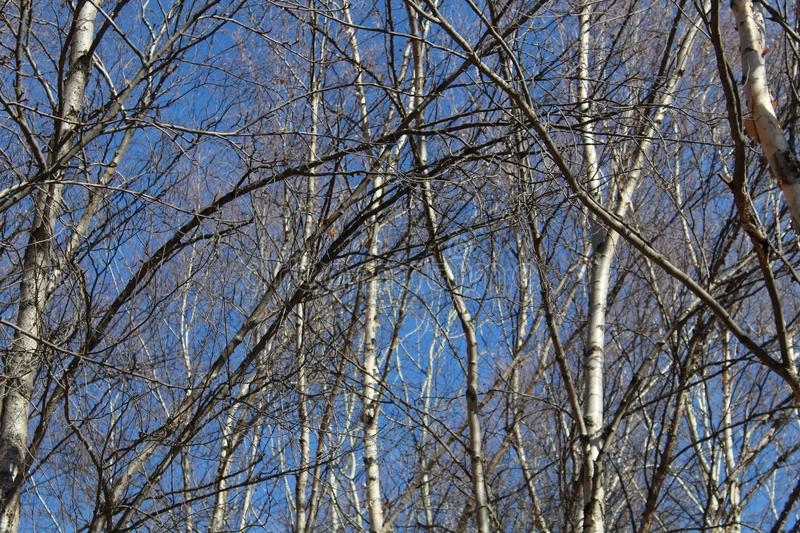Autumn naked aspen and birches trees with blue sky stock photo