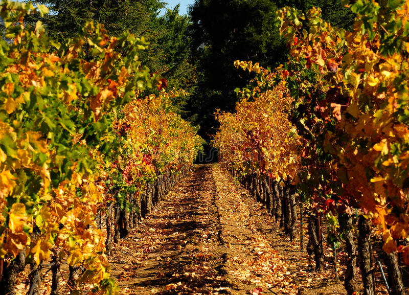 Autumn in Napa. Lines of vines. Autumn (Fall) colors as the vines give up their fruit and the foliage dies off for winter. Gorgeous red, gold, amber and yellow royalty free stock image