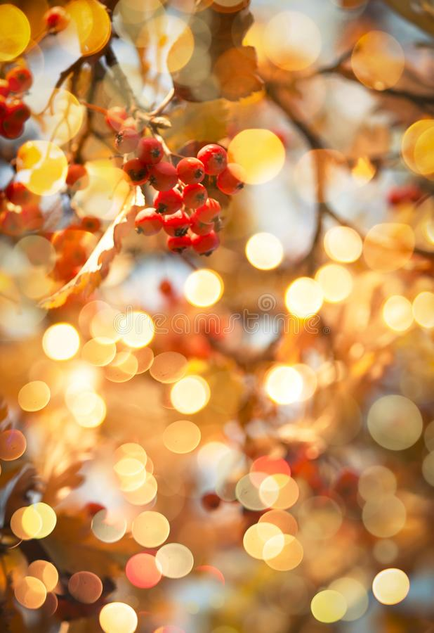 Autumn natural background with red berries and yellow orange foliage, fall landscape, golden blur bokeh royalty free stock photography