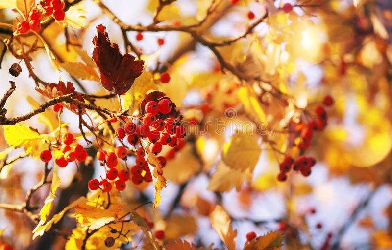 Autumn natural background with red berries and yellow orange foliage, fall landscape, golden blur bokeh stock photo