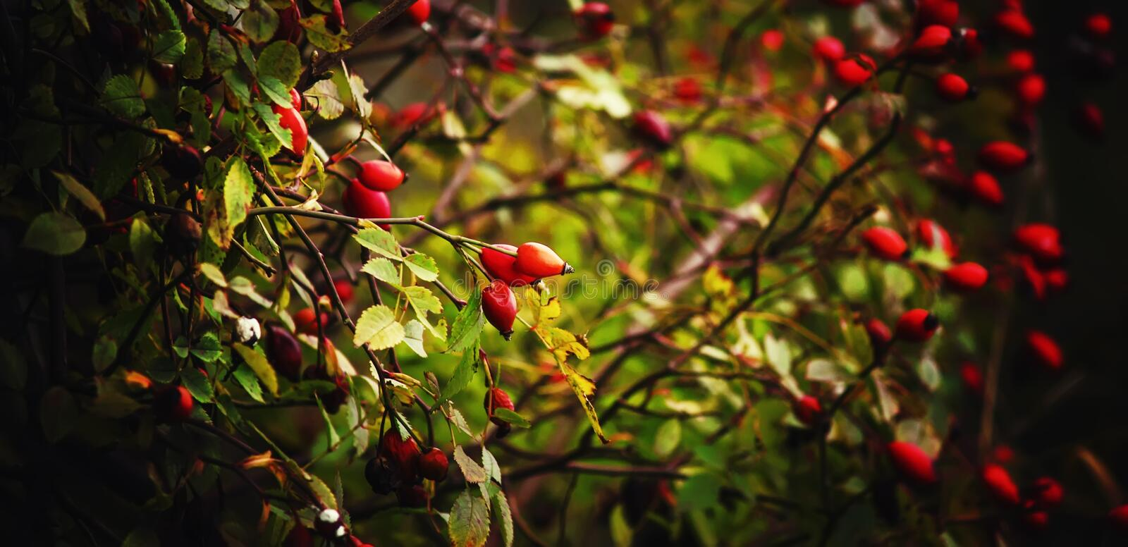 Autumn natural background, rosehip berries on the bush, selective focus and shallow depth of field royalty free stock photography