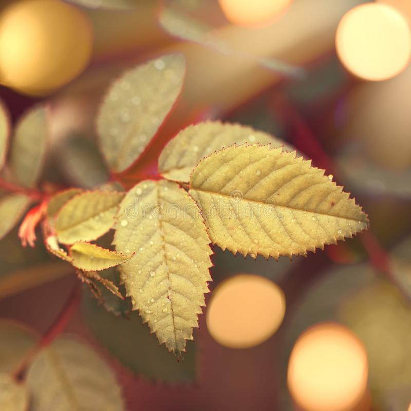Autumn natural bokeh background with yellow leaves and golden sun lights, fall nature landscape stock images