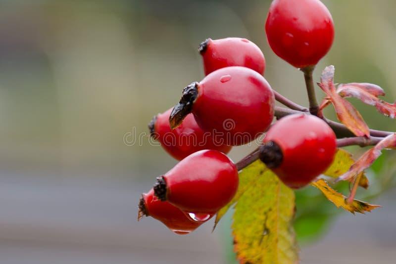 Autumn natural harvest - red ripe briar on bush, rain drops at berries. royalty free stock photos