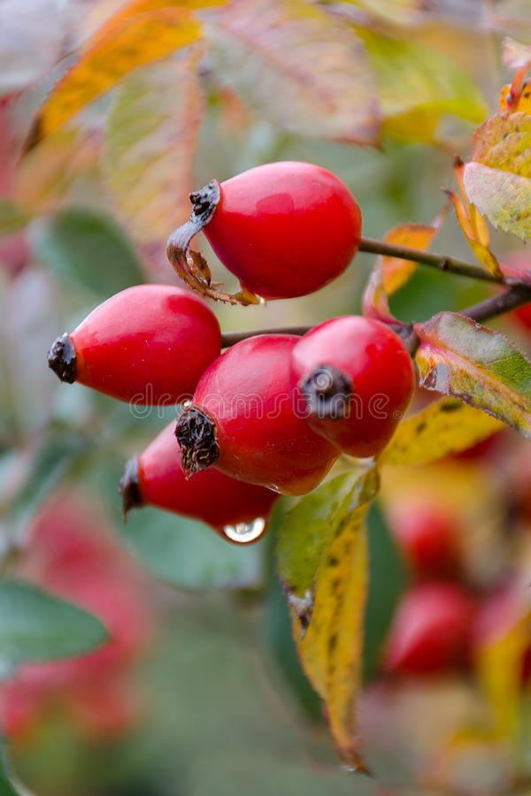 Autumn natural harvest - red ripe briar on bush, water drops at berries. royalty free stock images