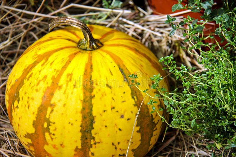 Autumn nature concept. Ripe orange, yellow, green pumpkin with dry grass. Thanksgiving dinner stock images