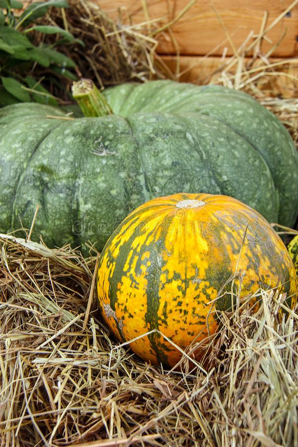Autumn nature concept. Ripe orange, yellow, green pumpkins with dry grass. Thanksgiving dinner royalty free stock images