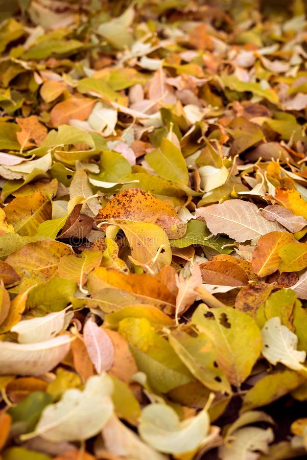 Autumn nature detail of many dry leaves on the ground in warm autumnal colors as a natural outdoors fall season royalty free stock image
