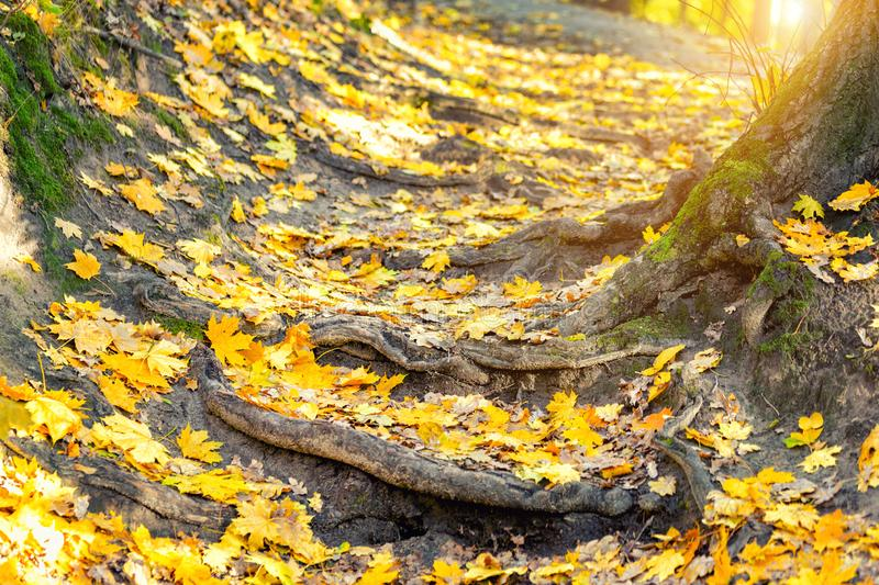 Autumn nature forest landscape. Old crooked tree roots natural staircase footpath . Golden yellow colorful foliage stock photography