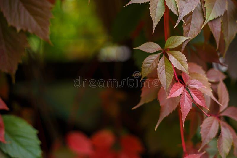 Autumn, nature, gardening background. Colorful autumn virginia c royalty free stock photo