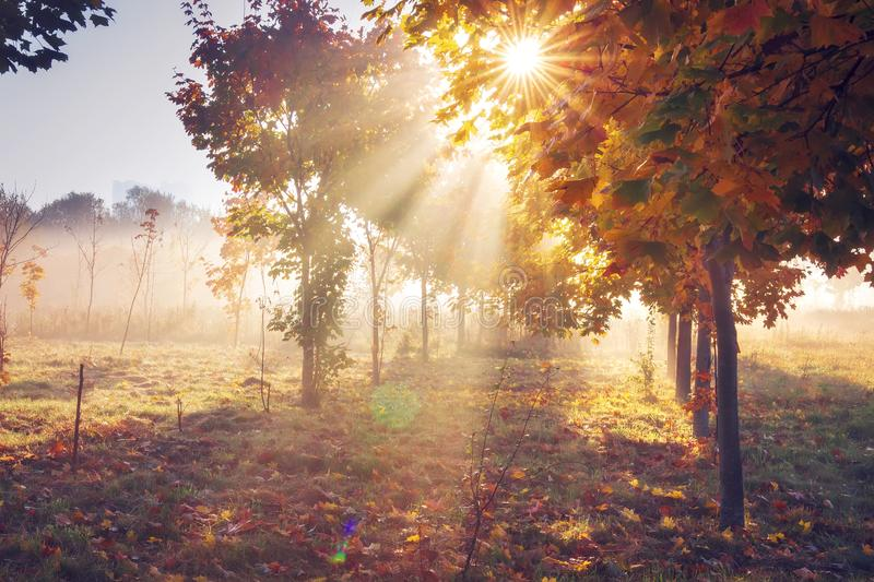 Autumn nature landscape in clear morning with vivid sunshine. Colorful trees in vibrant sunlight. Bright sun through branches of tree. Fall. Sunrays on misty stock photos