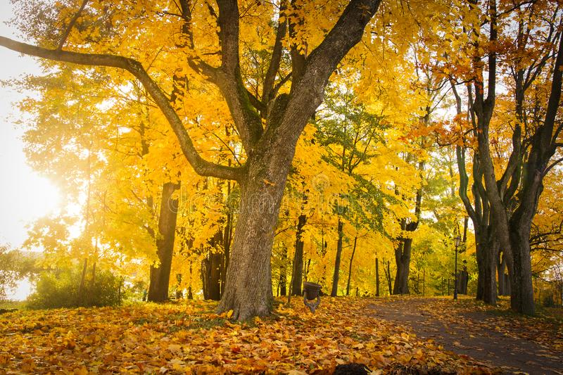 Autumn nature landscape in colorful park. Yellow foliage on trees in alley. Fall in october. royalty free stock photography