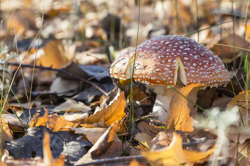 Autumn nature, mushroom season. Forest dangerous poisonous inedible hallucinogenic lamellar spotted fly agaric, poisoning of the royalty free stock photography