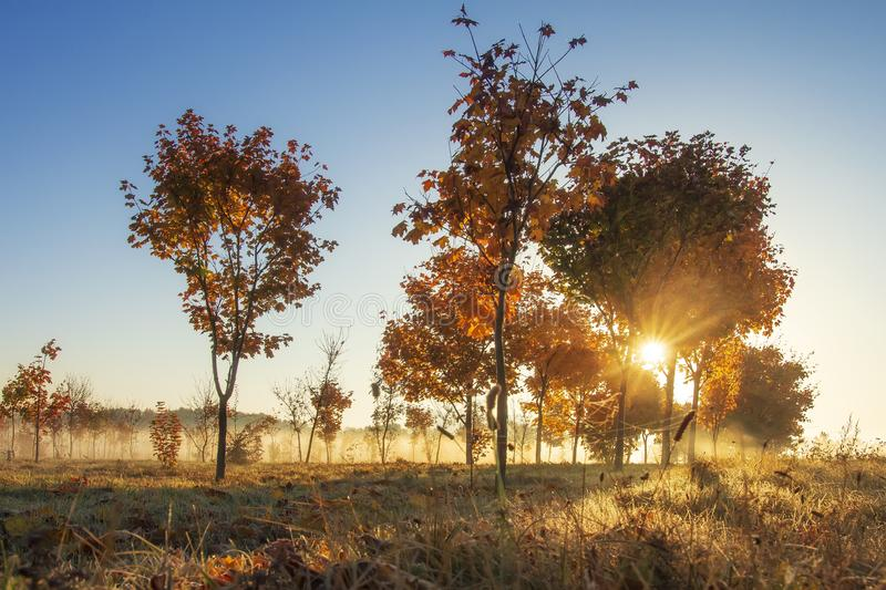 Autumn nature at sunrise on sunny clear morning. Yellow trees on colorful meadow in october. Golden trees on autumn field. Sunbeams through trees. Vivid sun on stock image