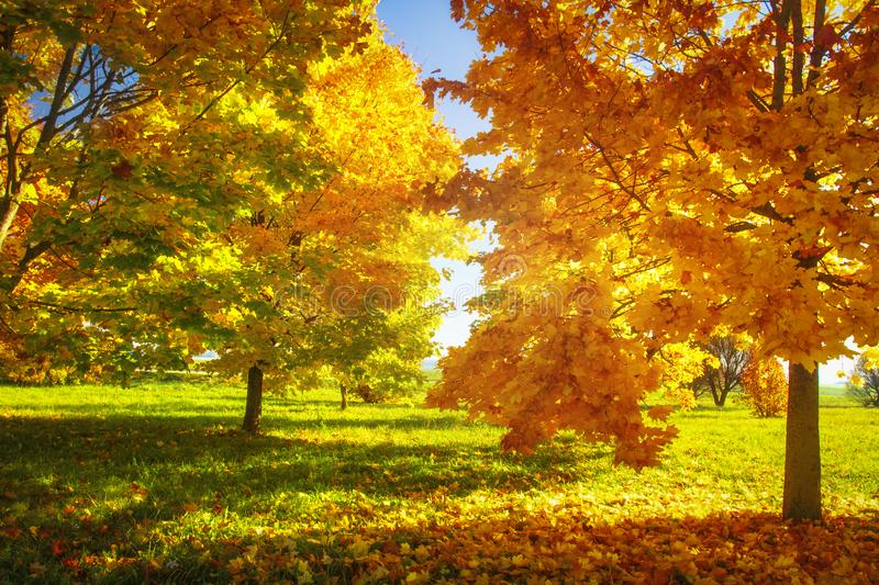 Autumn nature. Vibrant colors of autumnal park on sunny clear day. Yellow and red trees. Bright afternoon in colorful park. Fall. Nature landscape. Autumn royalty free stock photos